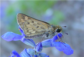 A female Fiery Skipper (Hylephila phyleus). Oct. 15, National Butterfly Center, Hidalgo Co., TX.