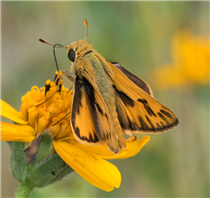 A male Fiery Skipper (Hylephila phyleus). Apr. 13, National Butterfly Center, Hidalgo Co., TX.