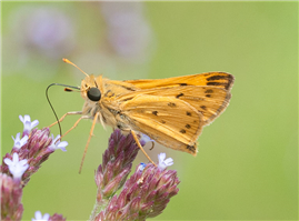 Male Fiery Skipper (Hylephila phyleus). July 17, Holmes Co., MS.
