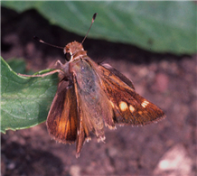 Female Umber Skipper (Poanes melane). May 3, Santa Clara Co., CA.